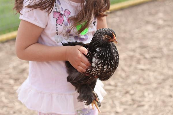 Mulberry Lane Farm Chickens