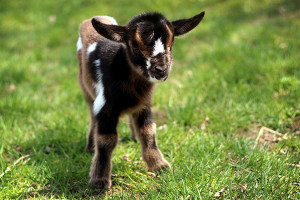 Mulberry Lane Farm baby goat