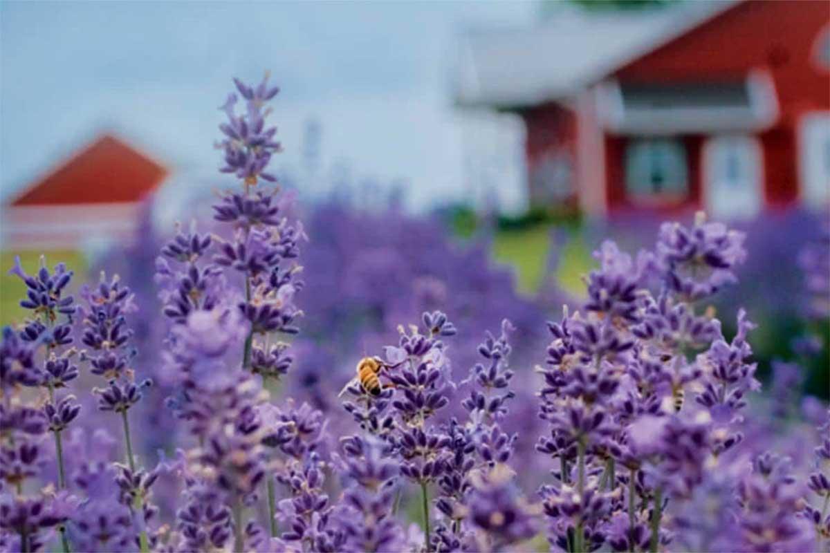 New Life Lavender, Baraboo