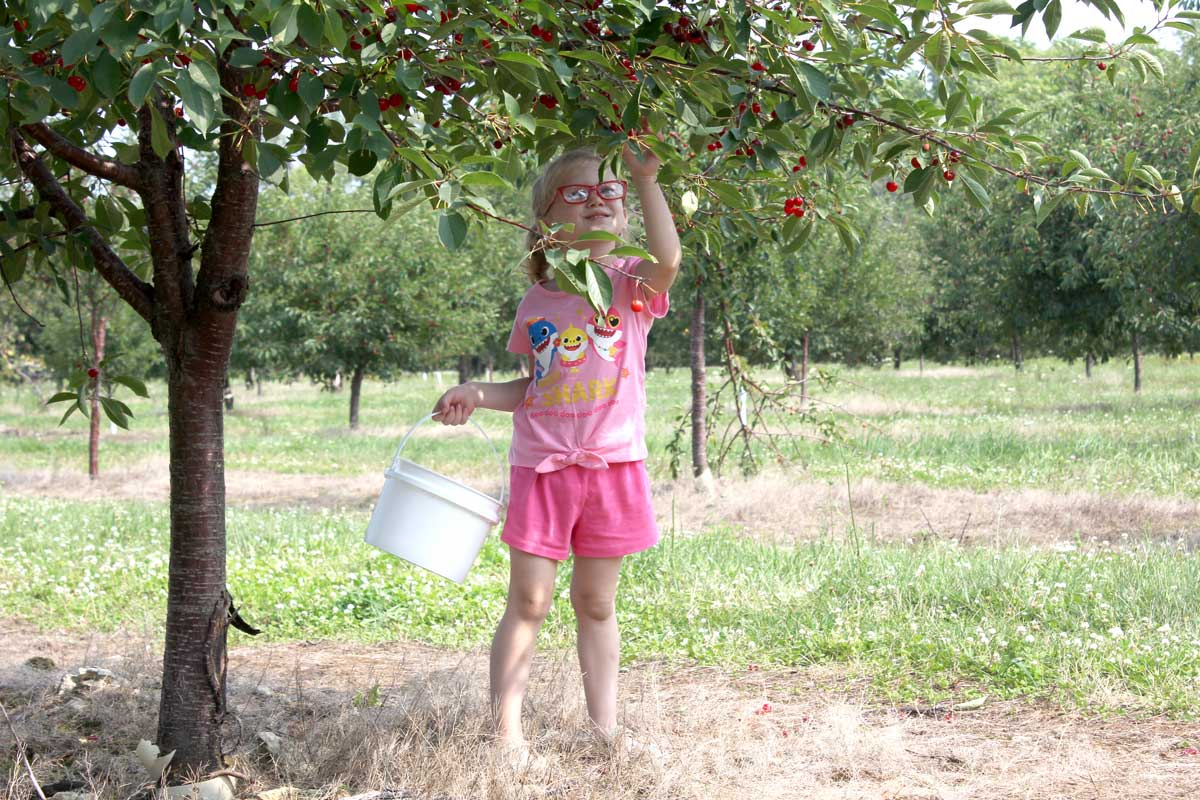 cherry picking at Hyline Orchard Door County