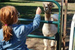 feeding alpacas at sunny acres farm oshkosh