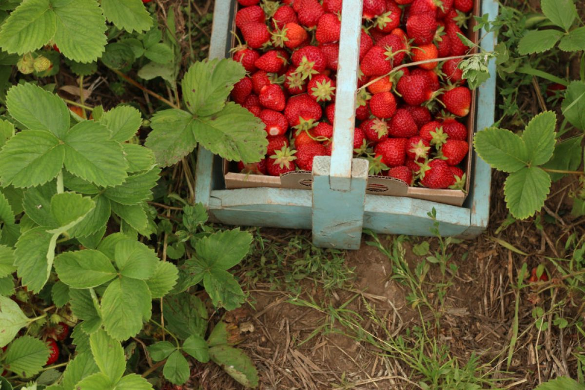 pick your own berries strawberries